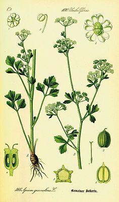 Echter Sellerie (Apium graveolens)Darstellung der Morphologie der Ursprungsartund Teilansichten von Blüten und Früchten