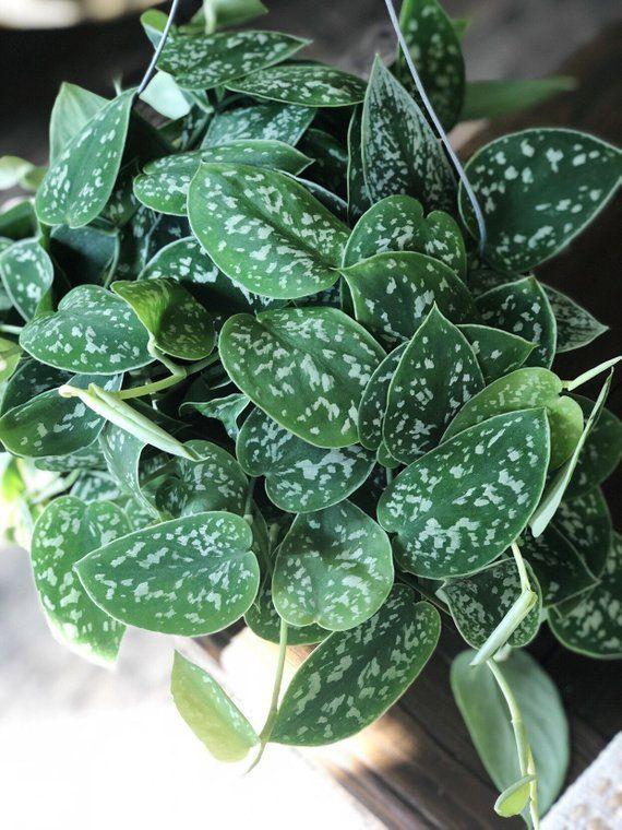 Large Satin Pothos Scindapsus Pictus Live House Plant Air