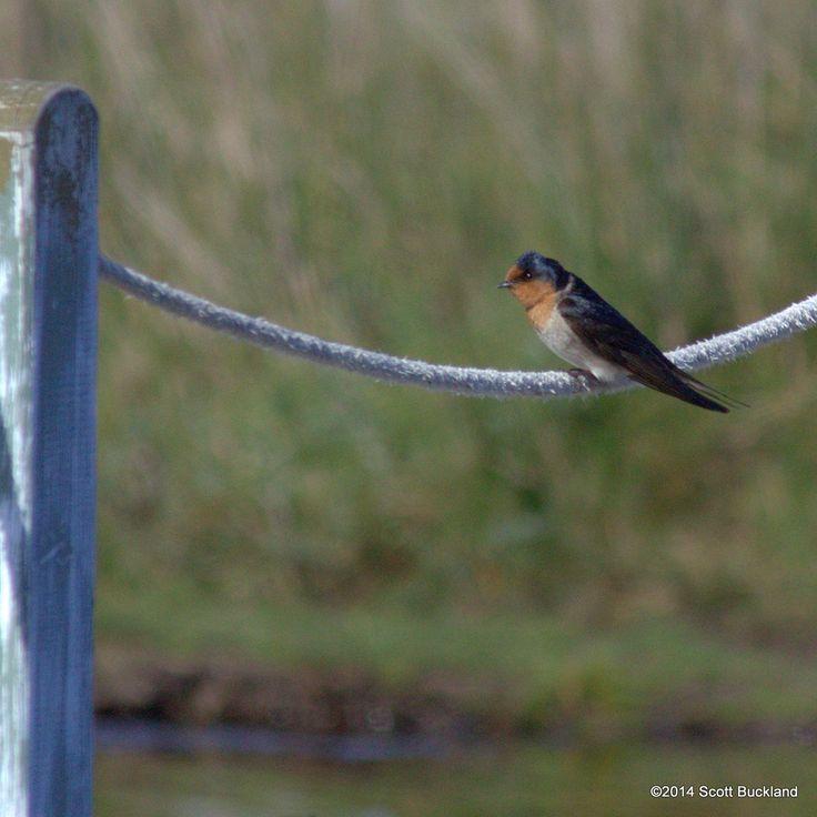 Welcome Swallow - Denmark, Western Australia - ©2014 Scott Buckland