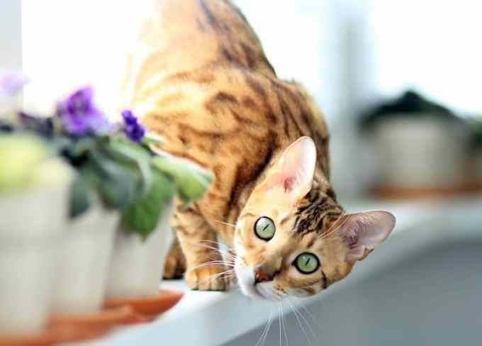 15 Awesome Cats That Cost A Fortune In 2020 Cat Breeds Cat Breeds Hypoallergenic Bengal Cat