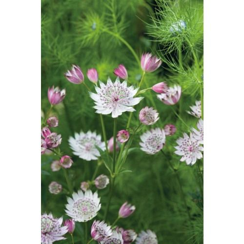 Buy Astrantia major from Sarah Raven: Astrantia major has zigzag petals like a Tudor ruff, in pale pink and green. I love these shade-tolerant, long-flowering and very long-lived perennials in the garden and cut for a vase - real cottage garden favourites.