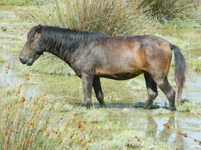 Acheloos river delta feral horses. Υπέροχο το τοπίο σε μία από τις εντυπωσιακότερες αμμουδιές της δυτικής Ελλάδας και έναν μοναδικό υγροβιότοπο, με λευκά κρινάκια της άμμου να ευωδιάζουν πλάι στο κύμα. Αν είστε τυχεροί, θα δείτε τα άγρια άλογα του Λούρου να καλπάζουν ανάμεσα στην παραλία και τις εκβολές του Αχελώου. Πιστεύεται ότι ανήκουν στη σπάνια φυλή της Πίνδου και συγγενεύουν στα χαρακτηριστικά -ελαφριά χαίτη, ρυθμικός...
