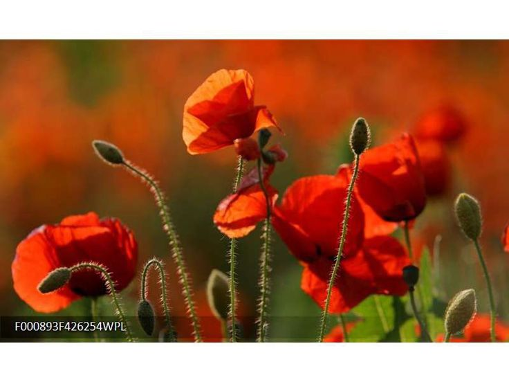 Fotobehang Klaproos | Kleur: Rood, Groen | F000893WP