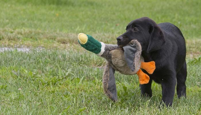 The Ultimate Guide To Hunting Dog Training Dog Training Easiest
