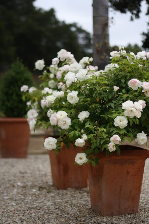 White iceberg roses in terra cotta pots — Floribunda iceberg roses bloom from spring through fall and are nearly thornless.