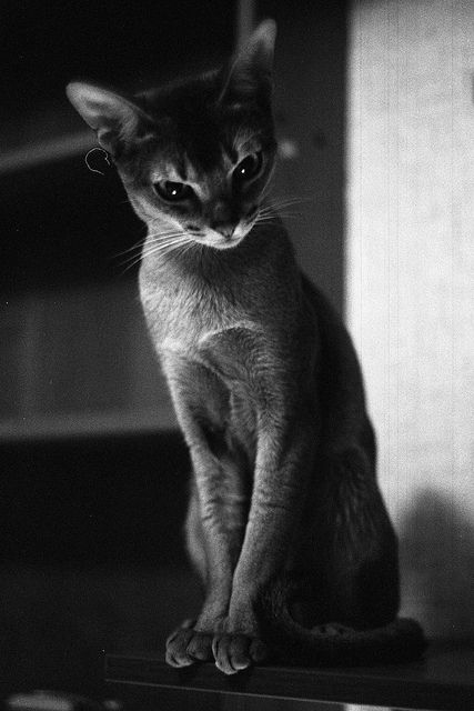 Abyssinian cat, pure breed ~ photographer owner caught him looking oh so elegantly arrogant, such a snobby tilt of head.