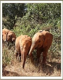 Sonje in the bush with the orphan herd