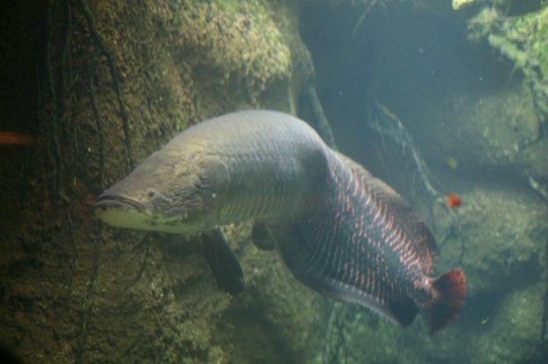 самая крупная пресноводная рыба в мире - Арапайма или Pirarucu (Arapaima gigas). У нее есть подобие легкого, и время от времени она всплывает, чтобы подышать свежим воздухом. Вес - до 200 кг