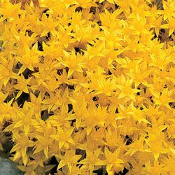 """Golden Creeping Sedum  Bold, Drought-Tolerant Color!  Masses of tiny star-shaped flowers adorn this quick-growing succulent foliage ground cover. Sedum is good for erosion control on banks and tolerates dry soil conditions with ease. Space 12"""" apart."""