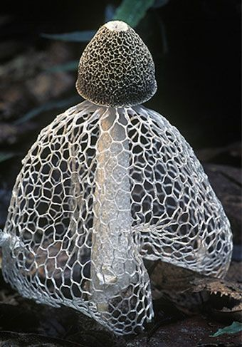 Maidens Veil Fungi - the cap is covered with a greenish-brown spore-containing slime, which attracts flies and other insects that eat the spores and disperse them. (Wiki)