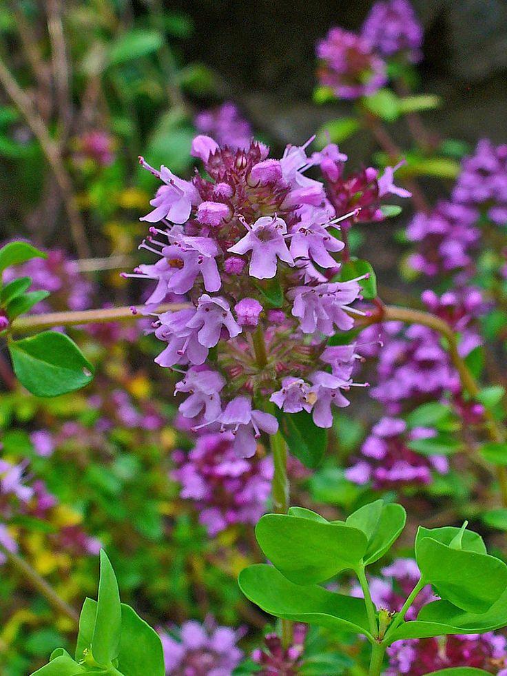 Timo selvatico (Thymus serpyllum L.) - Molto diffusa in Europa, cresce su pendii soleggiati, nella boscaglia, fino a 2600 metri s.l.m. - Botanical Garden KIT, Karlsruhe, Germany.