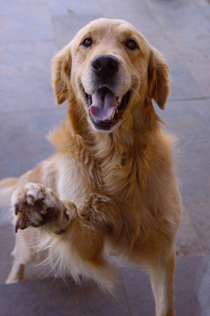 Golden Retriever Doing High Five Dogs Golden Retriever Golden