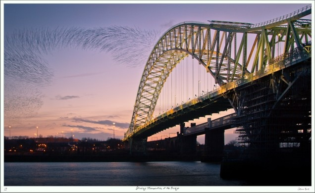 Starling Murmeration at Runcorn / Widnes Bridge