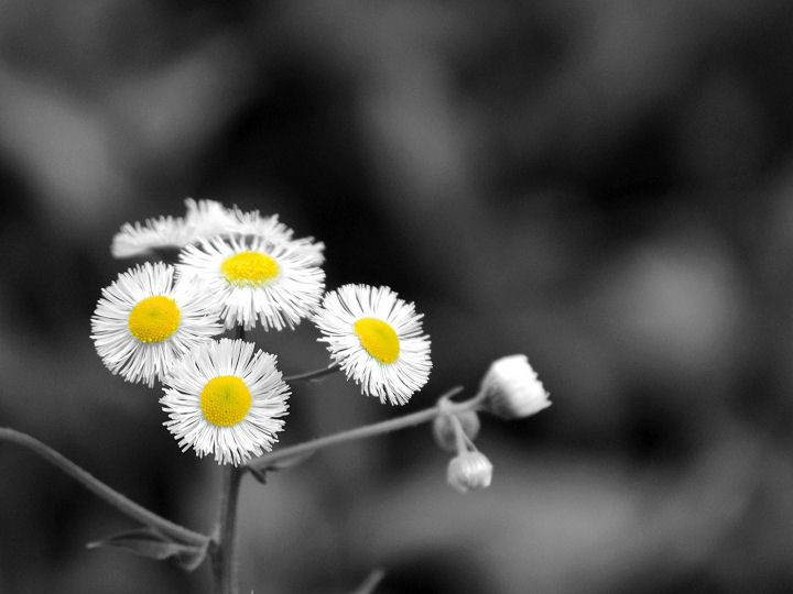 In This Altered Photo The Flowers Are Focal Point Is Because Of Added Color Flower And Only Black White Grey Back