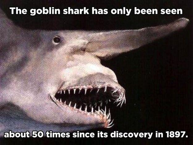 Goblin shark? Where did he go?