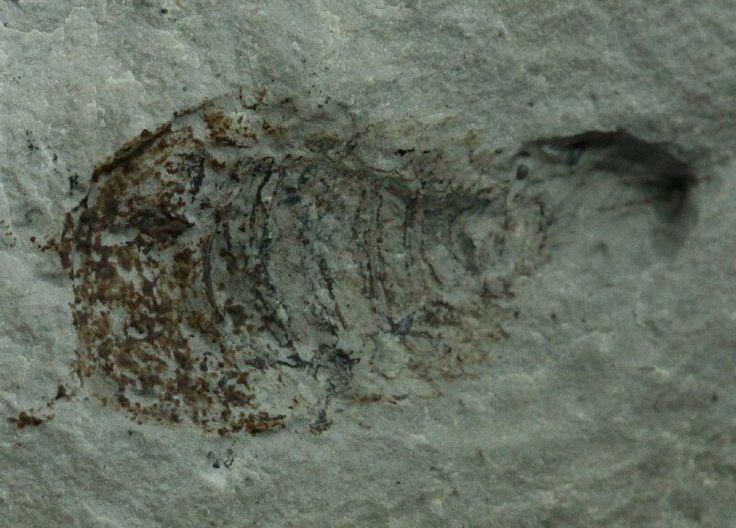 Phylum Lycopodiophyta Fossil