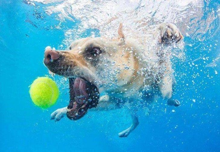 perro labrador  marron debajo del agua con pelota
