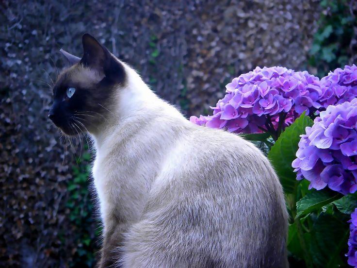 Ms de 25 ideas increbles sobre Gatos siameses en Pinterest