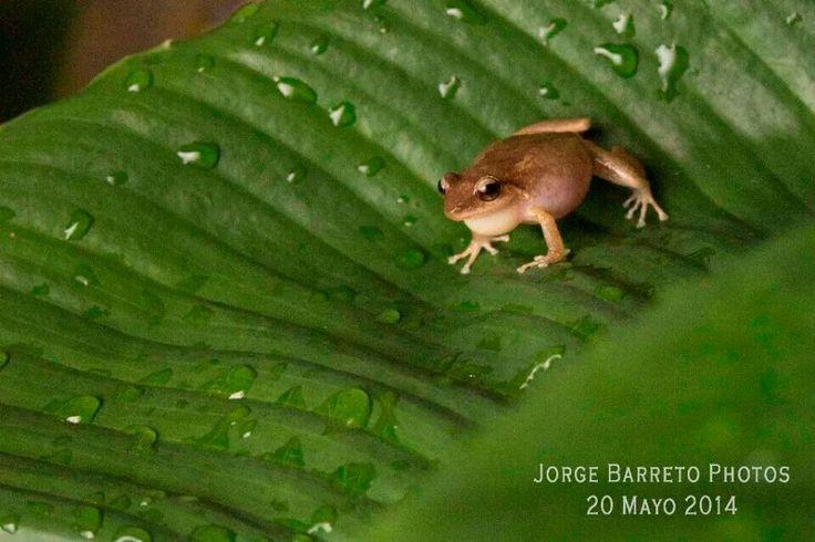 """Coquí de Puerto Rico. Los coquíes son las ranas del género Eleutherodactylus en Puerto Rico. Reciben el nombre onomatopeyico común de coquí debido a la llamada de dos notas que hacen los machos de dos especies, E. coqui y E. portoricensis, que suena como """"co"""" - """"quí"""". La hembra del coquí común (E. coqui) pone entre veinticinco y cuarenta huevos cada vez, por lo general en hojas de bromelias o palmas y sus crías nacen ya como adultos en miniatura. Esta forma de reproducción le permite vivir…"""