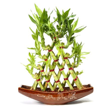 Buy Online lucky #Bamboo #Plant presenting by Ferns N Petals. http://bit.ly/1pLLlHm
