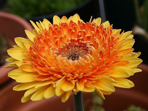 Gerbera Daisy Seeds - CREAMSICLE - Excellent for Arrangements -50 Seeds #theseedhouse