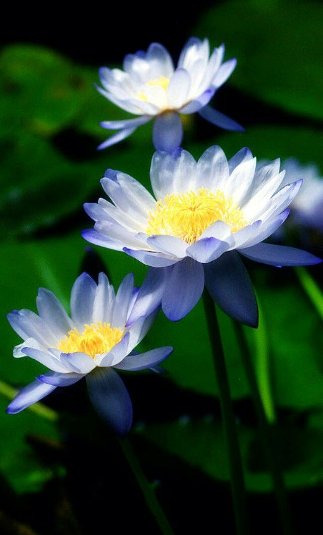 Pin By Hunny Adam On Beatiful And Clourful Flowers Pinterest Water Lilies Lily Pictures