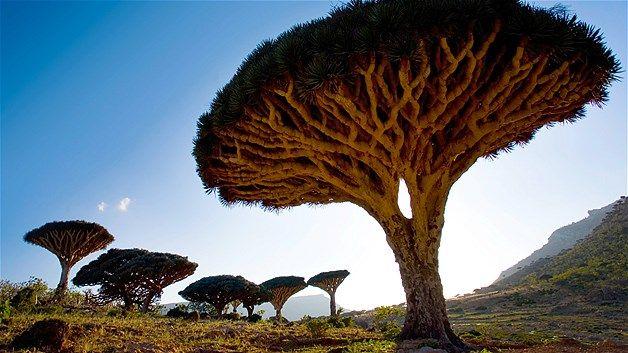 Pohon Dragonblood (Dracaena Cinnabari) di Pulau Socotra, Laut Arab