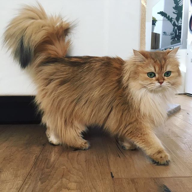 Smoothie (a British Longhair cat) .......... The daily parade has begun. From the sofa all the way to the bed.