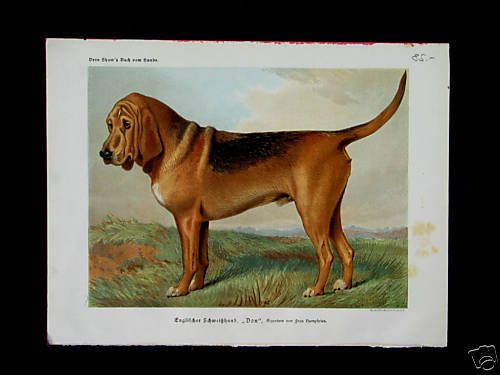 BLOODHOUND Hunde Dogs  VERO SHAW ca 1880