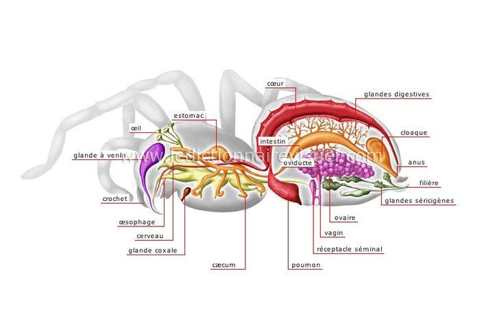 Anatomie de l'araignée femelle. En français. Dictionnaire visuel. D'autres visuels: morphologie, toile, etc....