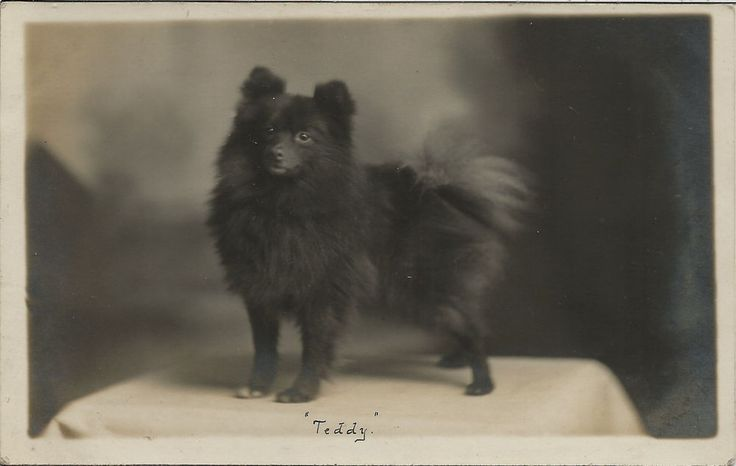 POMERANIAN SPITZ REAL PHOTOGRAPHIC DOG POSTCARD BY W PARTON NEWCASTLE STAFFS