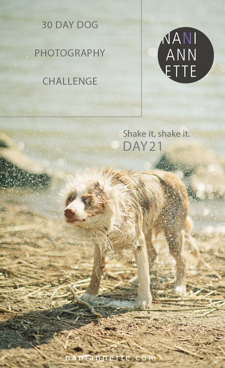 Day 21 of 30 Day Dog Photography Challenge  Shake it, shake it.  Share your captures in Instagram using #30daydogchallenge