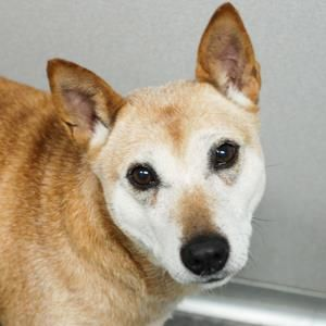 No longer available - Zoey - Australian Cattle/Shiba Inu mix - Des Moines, IA. 10 yrs old
