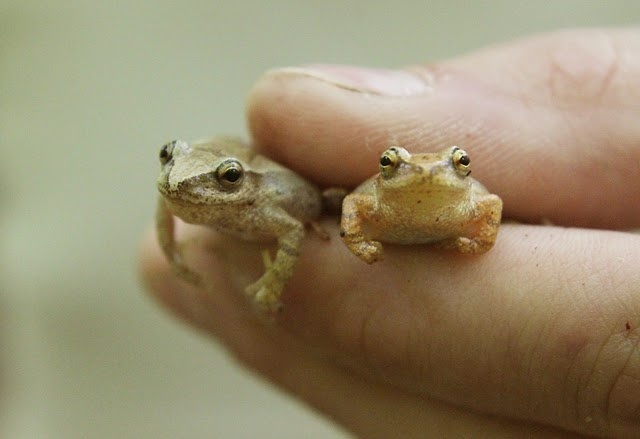 fingertip frogs :): Luvs Frogs, Baby Frogs, Adorable Animals, Tiiiiiny Frogs, Frogs Repin, Tiny Frogs, Fingertip Frogs This, Spring