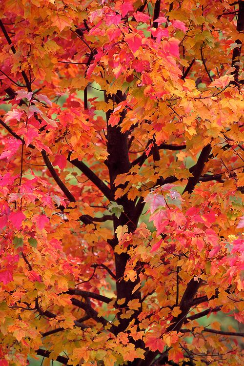 Acer rubrum 'October Glory', red maple by Patrick O'Leary