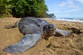 La tortue luth a le statut d'espèce en danger critique sur la liste de l'UICN. Sur l'un des principaux sites de nidification de la tortue luth, le nombre de nids a décliné de 90 % en 27 ans.© Brian J. Hutchinson