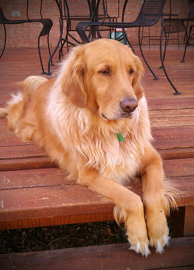 Rufus Ray McDoofus the 3rd, our rescued 5-year old Golden Retriever.