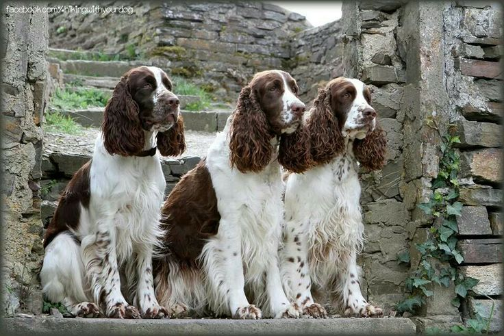 Three beauties! English Springer Spaniels