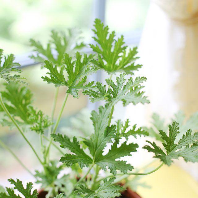 How to Propagate Citronella Geraniums