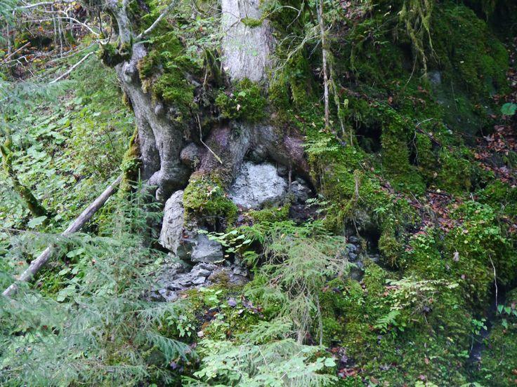 Baum schluckt Stein