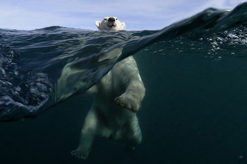 Polar Bear Power