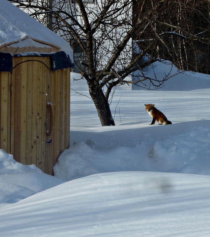 A fox visiting the Cedar Yurt! What creatures will you spot while staying with us? http://www.cabotshores.com/