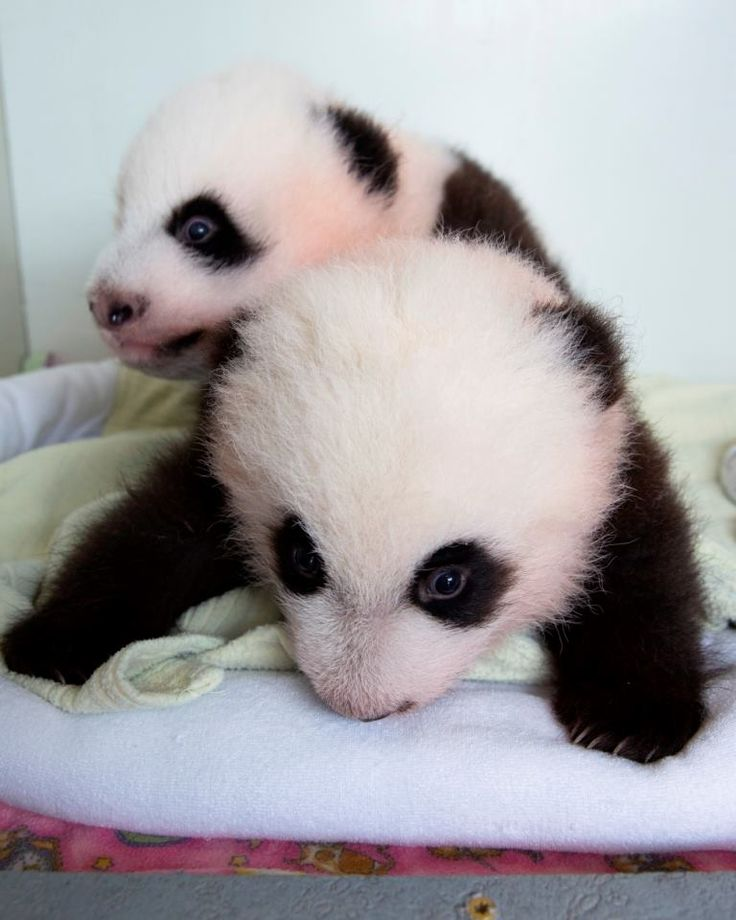 1000+ Ideas About Baby Pandas On Pinterest