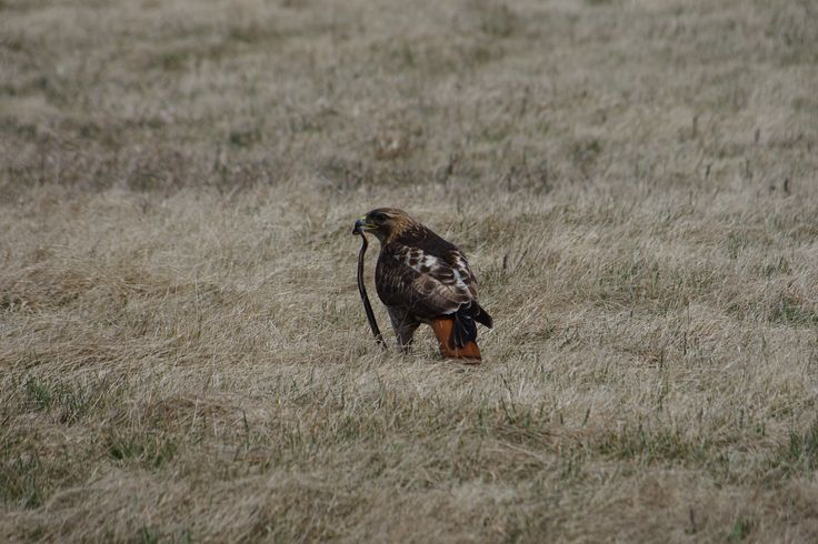 Regional Forest Tract - Red tailed hawk