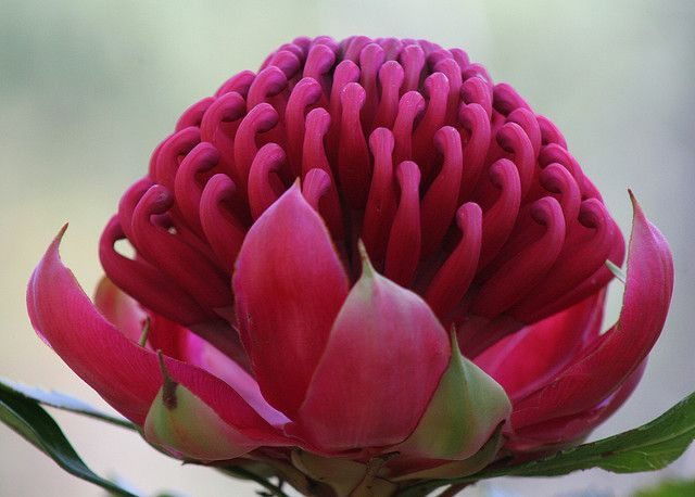 NOT Western Australian - but gorgeous nontheless and if you're a rugby fan you know the NSW Waratah's are named after this beaut! Waratah by Greg Miles, via Flickr