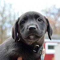 Silver Spring, Maryland - Labrador Retriever. Meet Europa, a for adoption. https://www.adoptapet.com/pet/20571886-silver-spring-maryland-labrador-retriever-mix