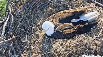 A live camera is poised over the Fort Myers area nest of American Bald Eagle Harriet and her mate M15, who are waiting for two eaglets to hatch. Web cam provided by Dick Pritchett Real Estate.