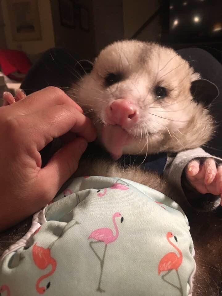 Pin By Laura On Opossums In 2020 Baby Ferrets Baby Possum Cute Animal Drawings