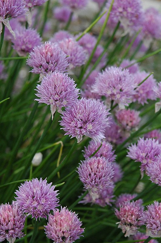 Chives (Allium schoenoprasum) at Gertens Height:  12 inches  Spread:  18 inches  Sunlight:   full sun   partial shade   Hardiness Zone:  2a  Other Names:  Flowering Onion