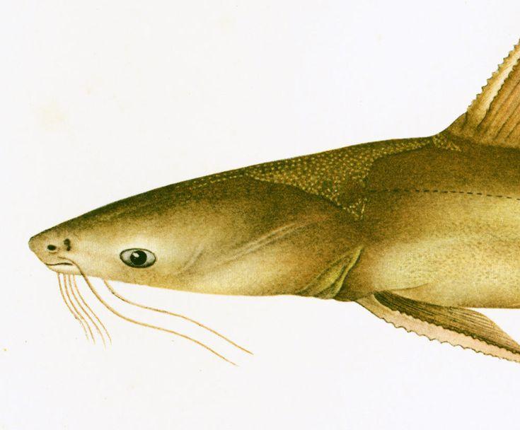1932 Poisson-chat marin. Hemipimelodus.  Gravure Originale.  Ichtyologie Asie Pacifique Ocean Indien. de la boutique sofrenchvintage sur Etsy